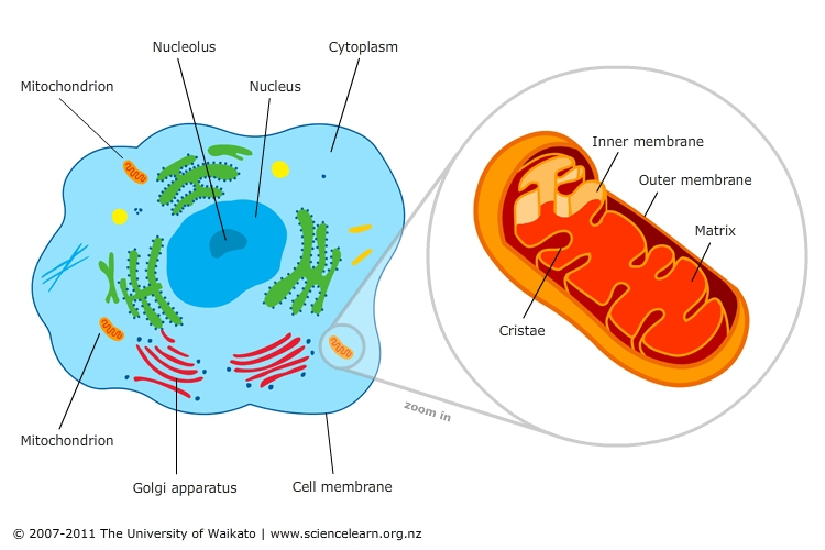a description of mitochondria tiny organelles found in nearly all eukaryotic cells 2012-09-02 description function  all cells except hereditary  (dna) of the cell cytoplasm all cells clear, thick, jellylike material (cytosol) organelles found inside cell.